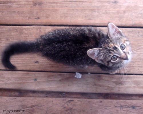 Roma kitten