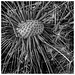 Dandilion in Black and White by arbyreed