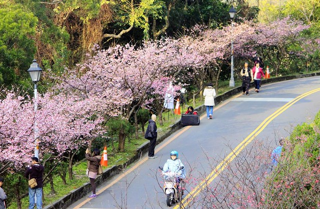 2015 01 25 新北市.烏來.花園新城.寒櫻(高角度的藍天-70%)