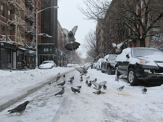 NYC Blizzard January 2015: East Village, Pigeons