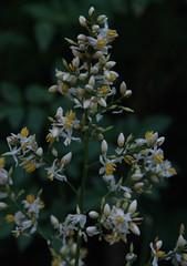 Nandina domestica, Albury Botanic Garden, NSW, 11/12/14