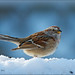 American Tree Sparrow In Snow by Jeannot7
