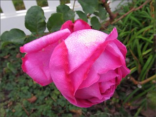 Pink rose along a white fence