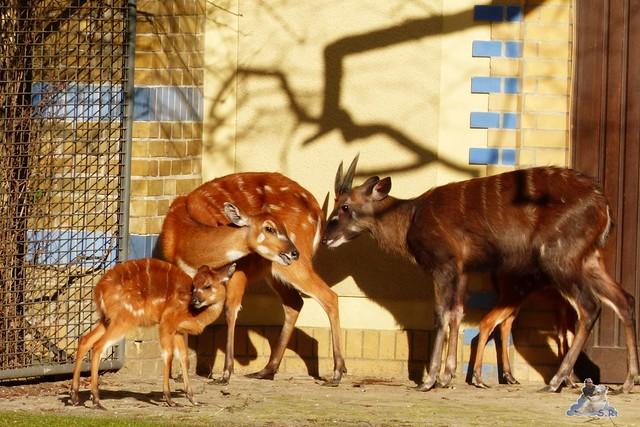 Zoo Berlin Orang Utan Rieke 08.02.2015 151