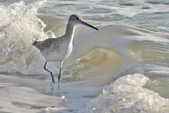 willet IMG_1624a