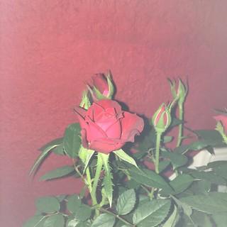 Gute Besserungs Rose von meinem Schatz