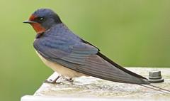 HolderSwallow