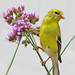 sneaky Goldfinch in the tall verbena by Vicki's Nature