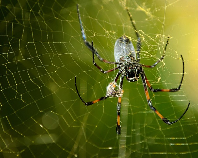 golden orb spider and her lunch box 4