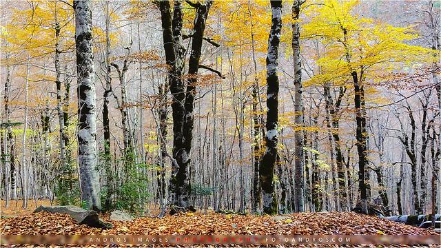 Bosque de hayas en Ordesa al final del Otoño // Ordesa Beech forest in the late fall