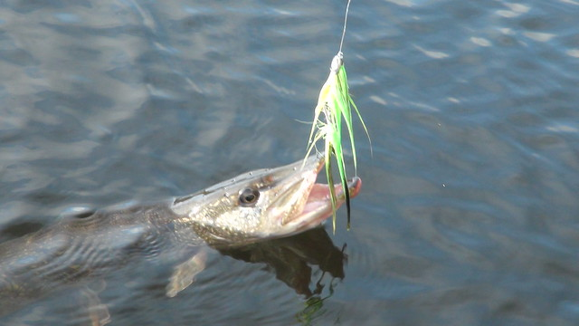 Maine Pike on Fish Skull Fly