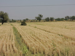 Wheat Ready for Harvest.. Gujrat