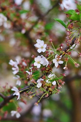 last blooming sakura