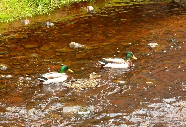 Ducks Outside Glenrothes Distillery