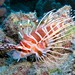 hawaiian_turkeyfish2