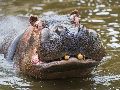 Funny hippo in the water by Tambako the Jaguar