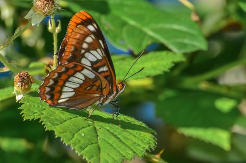 <p><i>Limenitis lorquini ilgae</i>, Nymphalidae<br /> Grant Narrows, Pitt Meadows, British Columbia, Canada<br /> Nikon D5100, 70-300 mm f/4.5-5.6<br /> June 30, 2013</p>
