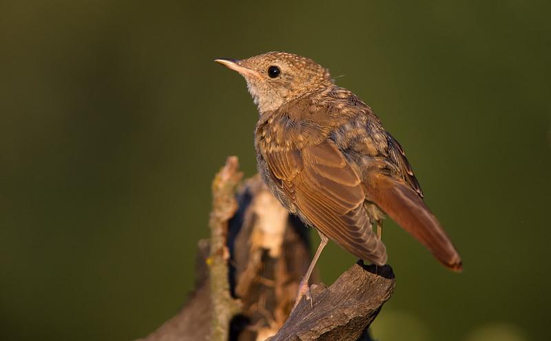 Young Nightingale