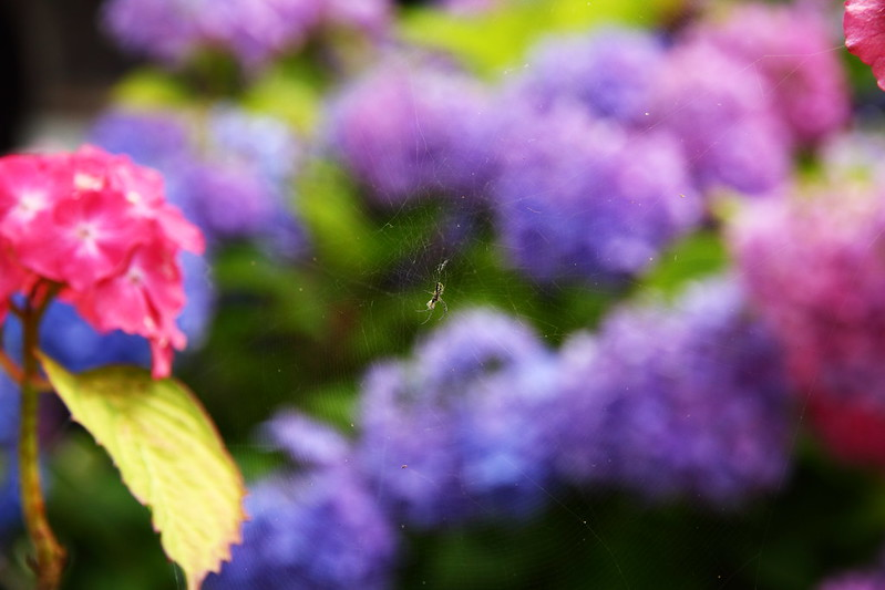 IMG_8090_6-12 Hydrangea Hunt
