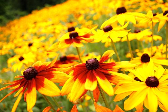 ルドベキアの花畑