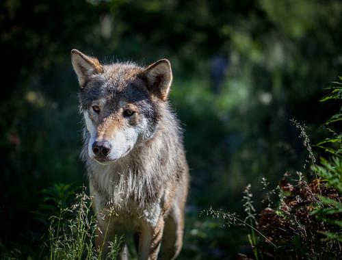 挪威的野生歐洲狼。(來源:Tom Bech)