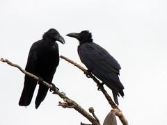 animal, branch, wing, raven, crow, fauna, beak, bird,