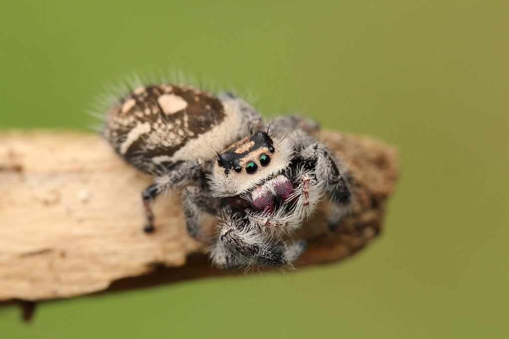 Jumping spider water hat - photo#28