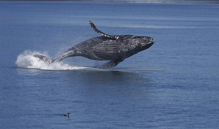 A whale breaching -- leaping from the water