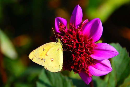 Clouded yellow on dahlia
