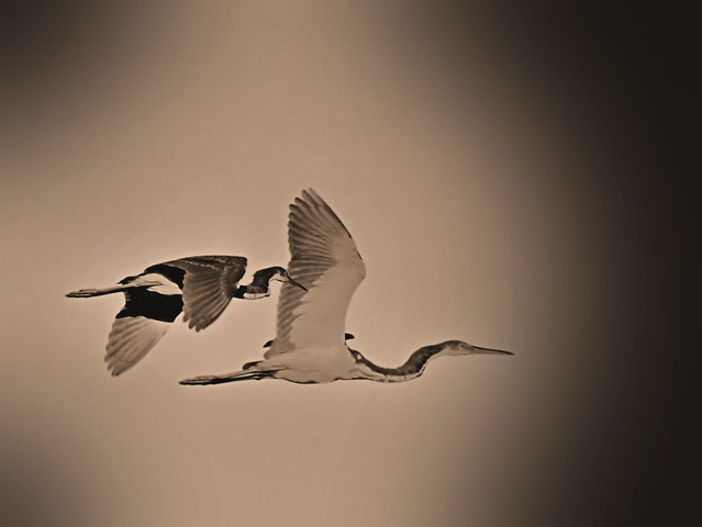Tricolored Heron composite sepia retro 20130928