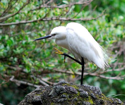 小白鷺。(圖片攝影:鄭漢文)