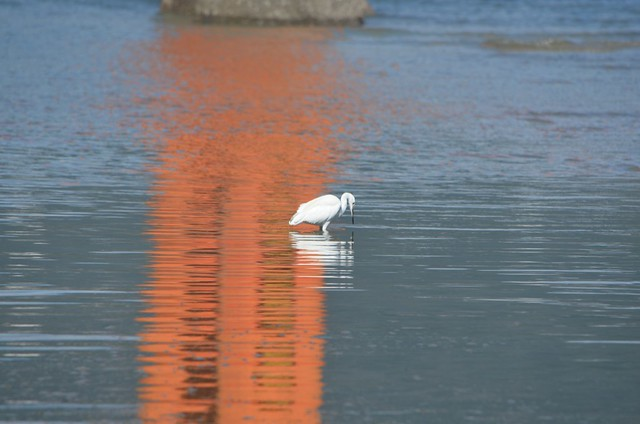 egret in red reflection