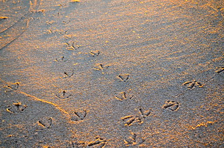 Sea Gull footprints at Mecox Beach