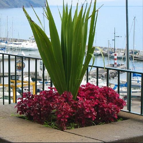 Madeira flower 2