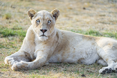 Resting white lioness by Tambako the Jaguar