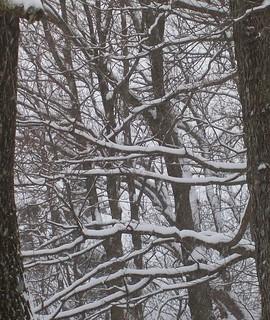 snowy trees 5