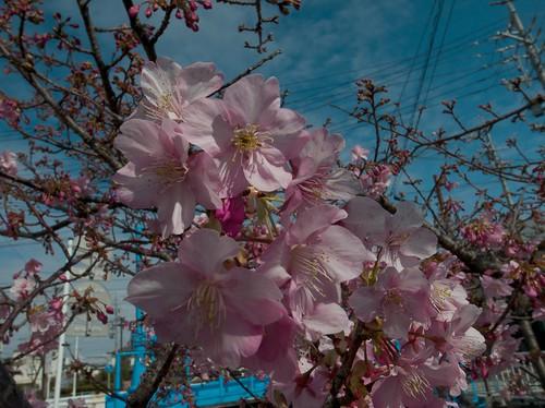 20140212 西脇河津桜 01