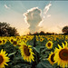 Field of sunflowers by Katarina 2353