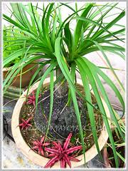 Nolina/Beaucarnea recurvata and Cryptanthus bivittatus 'Ruby', Jan 28 2015