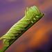 Ceratomia amyntor (Elm Sphinx) Caterpillar - Oklahoma by Thomas Shahan