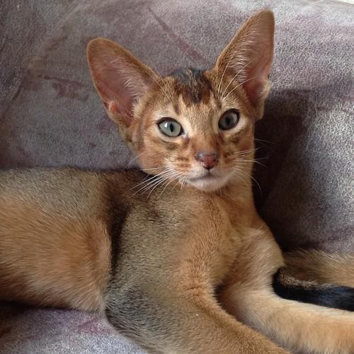 Котик Бельбек, сын Мурочки и Ская, 3 месяца #abyssinian