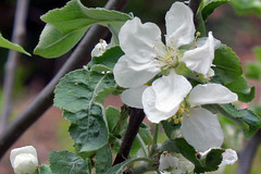 apple blossom IMG_7882