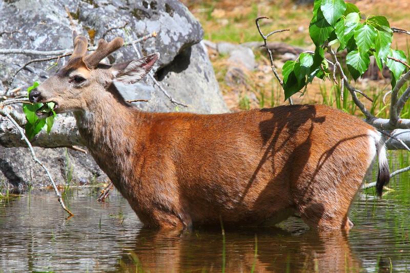IMG_9403 Mule Deer