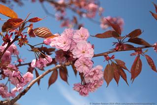 20. Spring (21/52) - Cherry Blossom