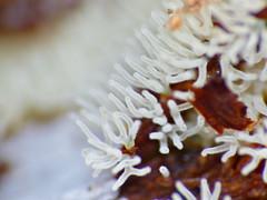 White Coral Slime Mold (Ceratiomyxa fruticulosa) found under bark