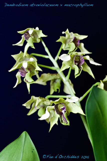 Dendrobium atroviolaceum x macrophyllum 15773947493_d9864f9b8b_z