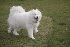 dog breed(1.0), animal(1.0), german spitz klein(1.0), dog(1.0), japanese spitz(1.0), pet(1.0), volpino italiano(1.0), german spitz(1.0), slovak cuvac(1.0), german spitz mittel(1.0), carnivoran(1.0), american eskimo dog(1.0), samoyed(1.0),
