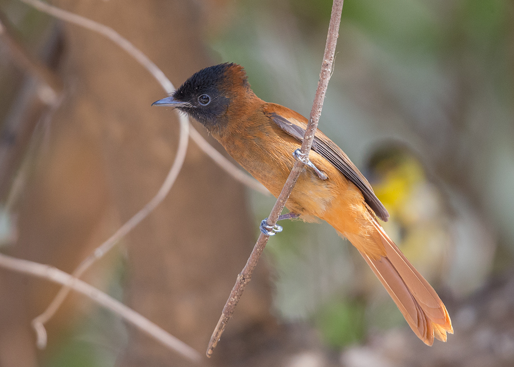 Red-bellied Paradise Flycatcher   Gambia
