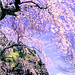 布引観音の桜と浅間