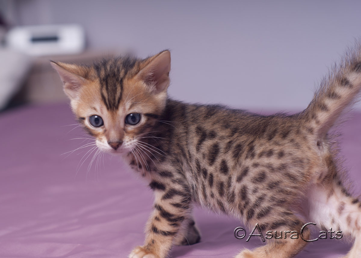AsuraCats Fiery Dance - Brown spotted/rosetted male Bengal kitten